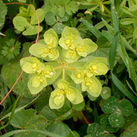 plt_Euphorbia