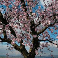 plt_Prunus