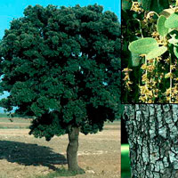 plt_Quercus