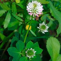 plt_Trifolium